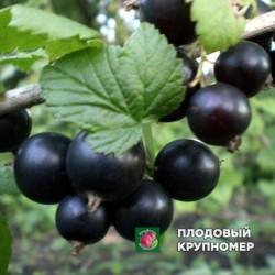 """Смородина черная """"Красота Львова"""""""