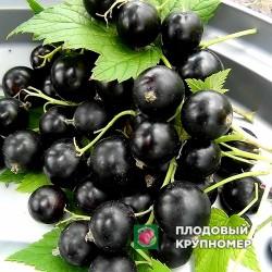 """Смородина черная """"Мечта Киевская"""""""