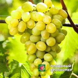 "Виноград ""Августин"" (белые сорта)"