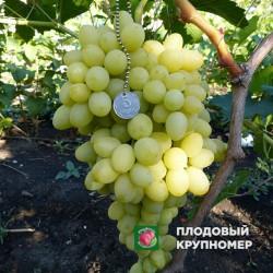 """Виноград """"Благовест"""" (белые сорта)"""
