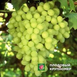 """Виноград """"Валек"""" (белые сорта)"""