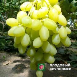 """Виноград """"Дашуня"""" (белые сорта)"""
