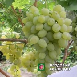 """Виноград """"К-878"""" (белые сорта)"""