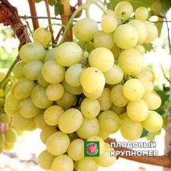"""Виноград """"Костя"""" (белые сорта)"""