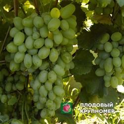 """Виноград """"Лора"""" (белые сорта)"""