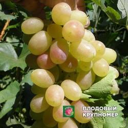 """Виноград """"Мечта Татьяны"""" (белые сорта)"""