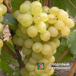 """Виноград """"Плевен"""" (белые сорта)"""
