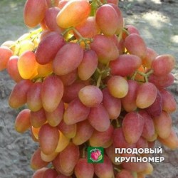 "Виноград ""Анжелика"""