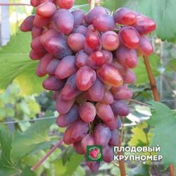 """Виноград """"Арочный"""""""