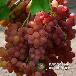 "Виноград ""Божий Дар"""