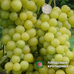 """Виноград """"Болгария"""""""