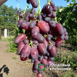 """Виноград """"Кандагар"""""""