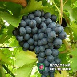 "Виноград ""Кишмиш Принцесса"""