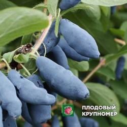"""Жимолость """"Голубой десерт"""""""