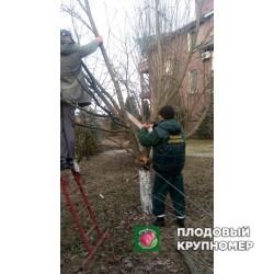 Обрезать деревья - санитарная обрезка плодовых деревьев