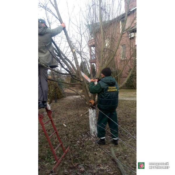 Саженцы Обрезать деревья - санитарная обрезка плодовых деревьев