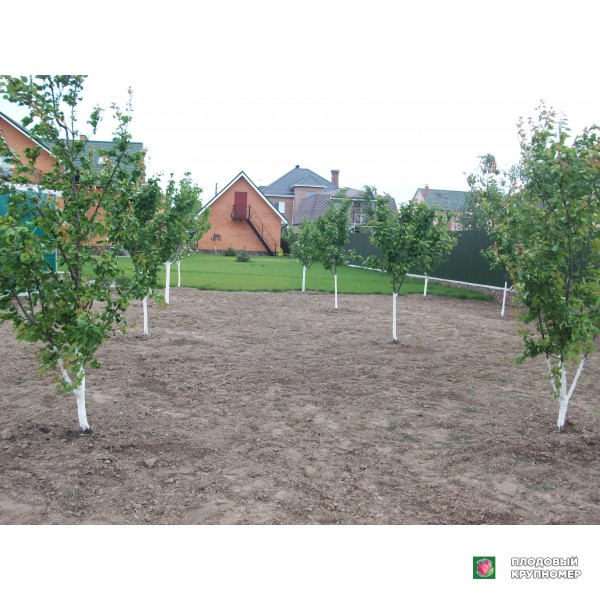 Саженцы Высаженный плодовый сад и наши работы