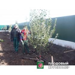 Ранневесенняя обработка плодоносящего сада