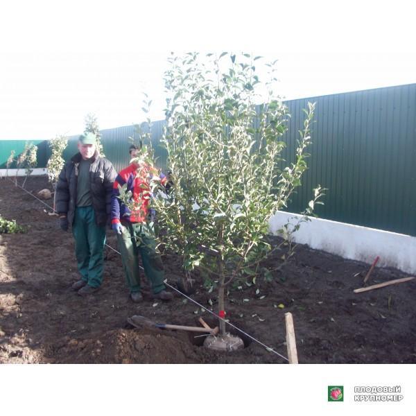Саженцы Ранневесенняя обработка плодоносящего сада
